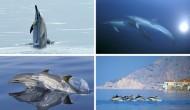 Κοινό δελφίνι: το δελφίνι της Λευκάδος