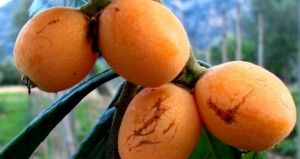Το περιφρονημένο φρούτο