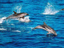 Δελφίνια στα νερά του Κολόπουλου