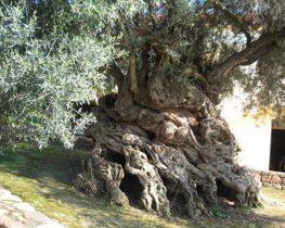 Τα γηραιότερα δέντρα του κόσμου