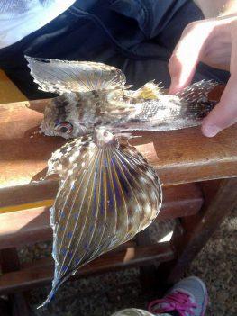 Ένα ιπτάμενο ψάρι στο Φανάρι