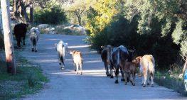 Τα χέρια ψηλά σηκώνει ο Δήμος Λευκάδας για τα ανεπιτήρητα ζώα…