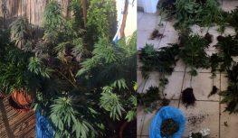 Σύλληψη για καλλιέργεια δενδρυλλίων κάνναβης και παράνομης οπλοκατοχής στο Μεγανήσι