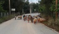 Αναφορά βουλευτή Λευκάδας  για τα ανεπιτήρητα παραγωγικά ζώα.