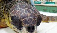 """Στον """"Αρχέλων"""" βρίσκεται η θαλάσσια χελώνα που εντοπίστηκε στο Μεγανήσι το Σάββατο 8/12"""