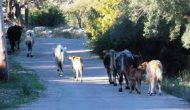 Πρόστιμα σε κτηνοτρόφους για ζημιές σε καλλιέργειες
